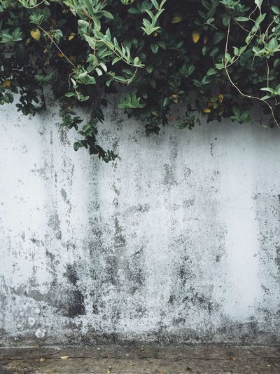 IPhoneography Iphoneonly Iphonephotography Wall Wall Textures Green Plants No People Blank White Color Old Buildings