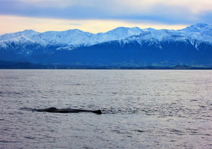 Sperm Whale Surfacing, Kaikoura Animal Themes Animal Wildlife Animals In The Wild Aquatic Mammal Beauty In Nature Cold Temperature Kaikoura New Zealand Mountain Mountain Range Nature New Zealand Beauty New Zealand Natural New Zealand Scenery No People One Animal Scenics Sea Sea Life Snow Snowcapped Mountain Sperm Whale  Tranquil Scene Tranquility Whale Winter The Great Outdoors - 2017 EyeEm Awards Neighborhood Map Sommergefühle EyeEm Selects Lost In The Landscape Been There. Done That. Perspectives On Nature Be. Ready. EyeEm Ready   Shades Of Winter An Eye For Travel Go Higher Inner Power Summer Exploratorium #FREIHEITBERLIN