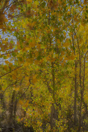 Cottonwood trees Artistic Photography Autumn Beauty In Nature Branch Close-up Cottonwood Trees Day Forest Freshness Growth Leaf Nature No People Outdoors Plant Tree Yellow