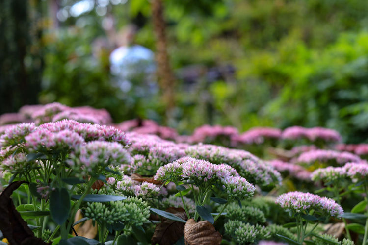 Beauty In Nature Botany Close-up Day Flower Flower Head Flowering Plant Focus On Foreground Fragility Freshness Green Color Growth Nature No People Orpine Orpines Outdoors Pink Color Pink Flower Pink Flowers Plant Plant Part Purple Selective Focus Vulnerability