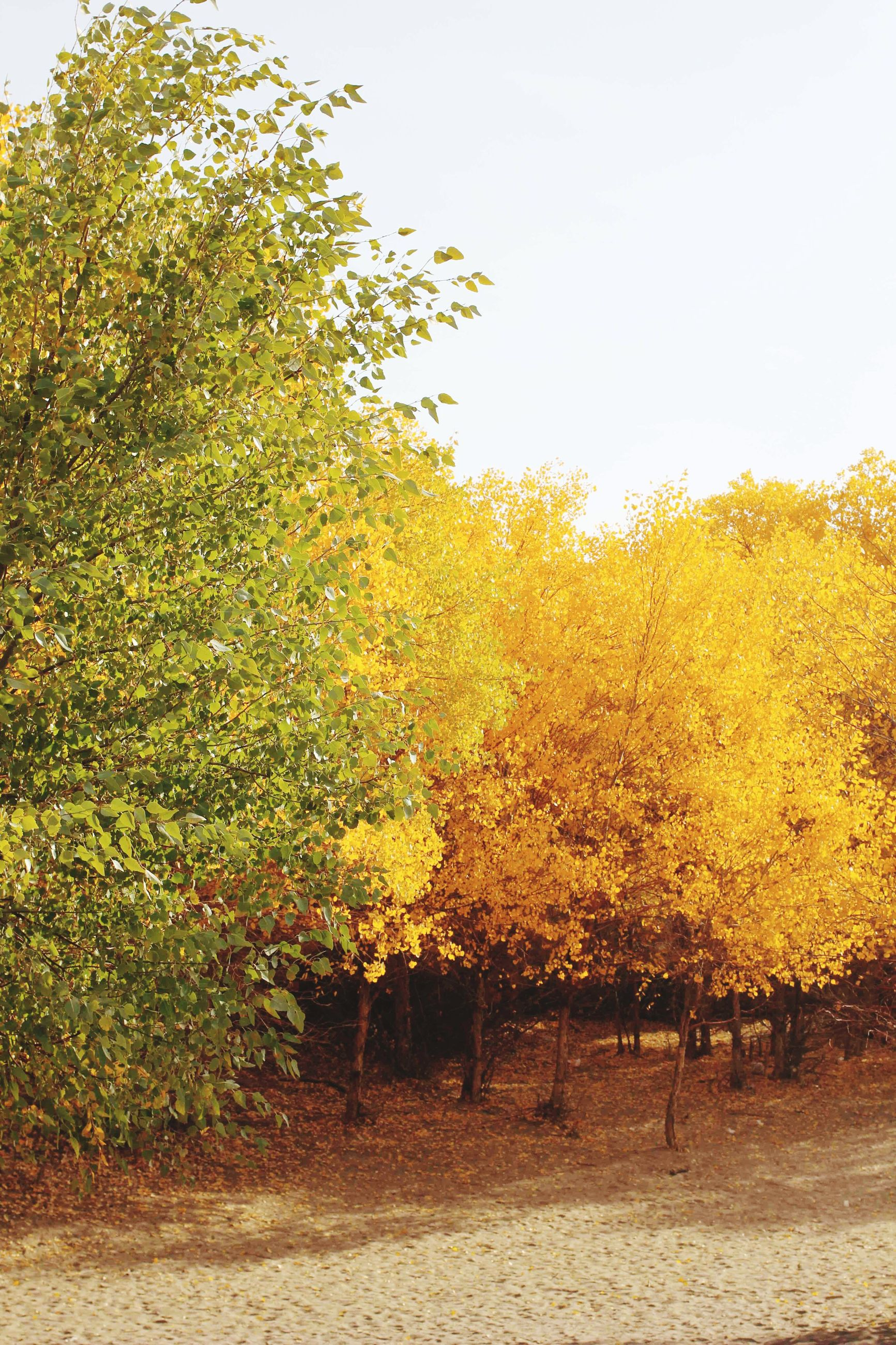 tree, nature, tranquility, beauty in nature, growth, autumn, tranquil scene, scenics, no people, field, landscape, outdoors, yellow, change, day, branch, sky