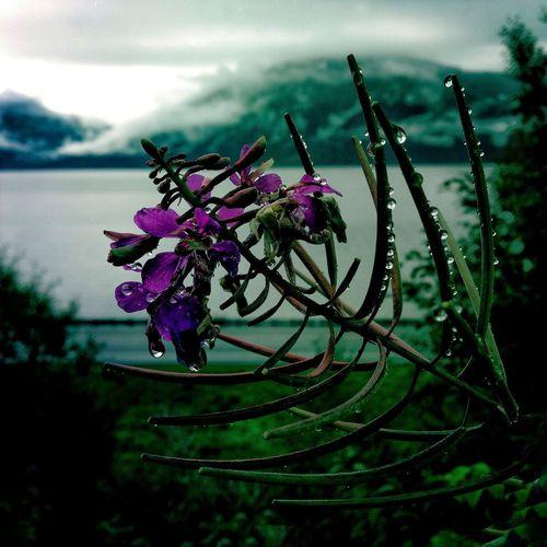 IPS2016Nature Flower Raindrops Reflection IPhoneography Nature Outdoors Alaska IPS2016StillLiife IPS2016Closeup