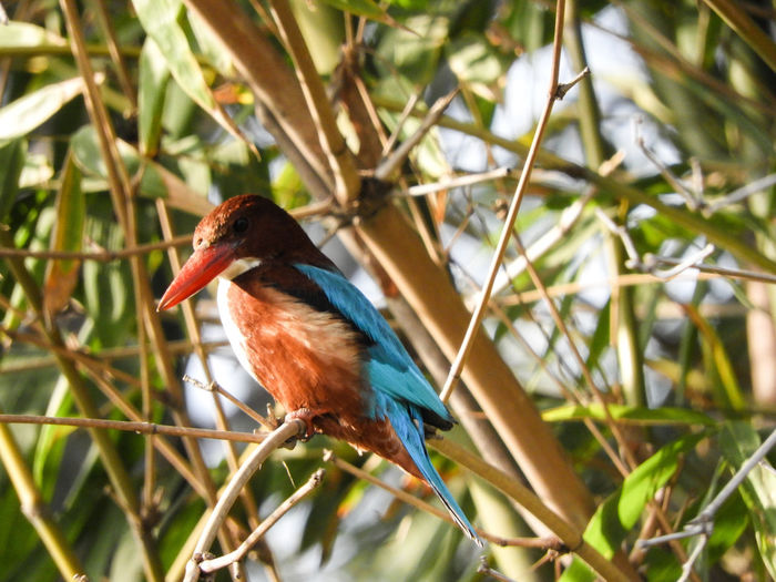 Passerine Leaves Halcyon Smyrnensis Halcyon Smyrnensis White Throated Kingfisher Animal Themes Perched India Forest Bird Tree Perching Branch Kingfisher Close-up Plant Wildlife Beak Avian Animal Neck Wild Animal Plant Life WoodLand Tree Trunk Woods