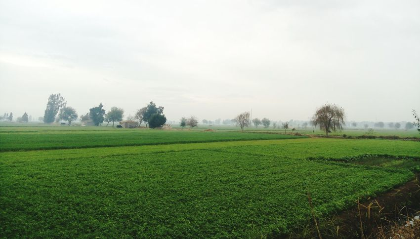 Tree Agriculture Growth Green Color Landscape Nature Field Rural Scene Tranquility Sky Beauty In Nature No People Tea Crop Outdoors Day Nature Tree Egypt Cloud - Sky Sky Collection Fieldscape Green Nature Rainy Day Cloudy Weather⛅☁ Cloudscape