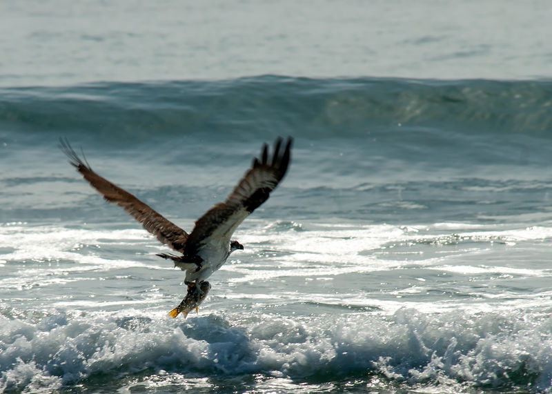 A big beautiful bird of prey ocean surf fishing with a big fish in grasp. Osprey catching fish. Bird Photography Wildlife Photography Animal Themes Animal Wildlife Animals In The Wild Beauty In Nature Bird Bird Of Prey Close-up Day Fish In Talons Fishing Flying Nature No People Ocean Ocean Waves One Animal Osprey  Osprey Catching Fish Outdoors Sea Sky Spread Wings Water