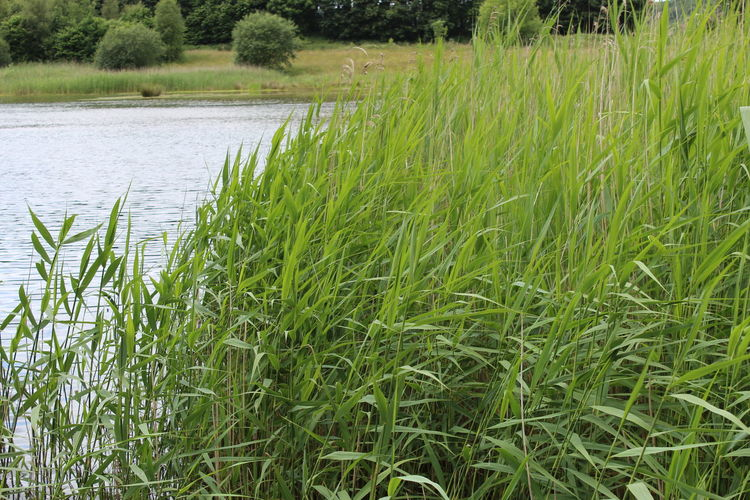 reeds. Grass Green Color Growing Growth Idyllic Landscape Movement. Nature No People Non-urban Scene Outdoors Plant Reeds Caught In A Breeze. Reeds In The Wind. Reeds On Riverbed. River. Rural Scene Rustling Reeds. Scenics Tranquil Scene Water Windy.