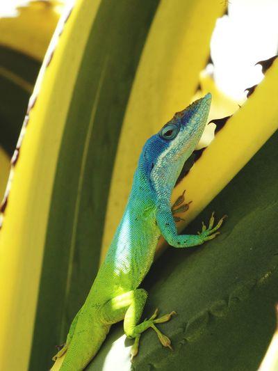 Animals In The Wild Animal Santa Clara Cuba Cuba Lizard Lizards Lizard Nature Colorful Wildlife & Nature Wildlife Spontaneous Moments