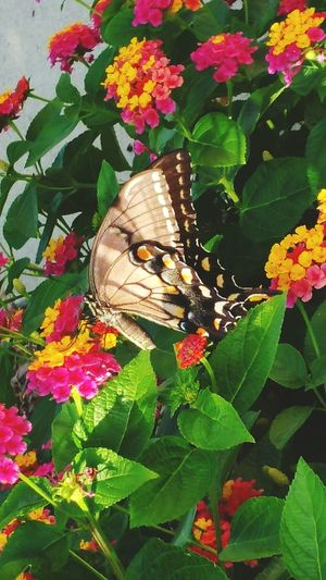 Beautiful Butterfly Insect Flower Beauty In Nature Pollination Close-up Butterfly - Insect Butterfly Nature Plant Growth Leaf Nature