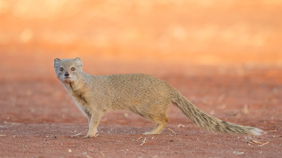 Yellow Mongoose On Sand At Desert