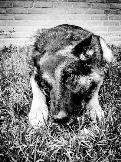 And then there were no sticks left.. German Shepherd Cute Sweet Blackandwhite Animal Love Dog Dogs Canine Fetch Nara The Dog Pets Dog Portrait Close-up