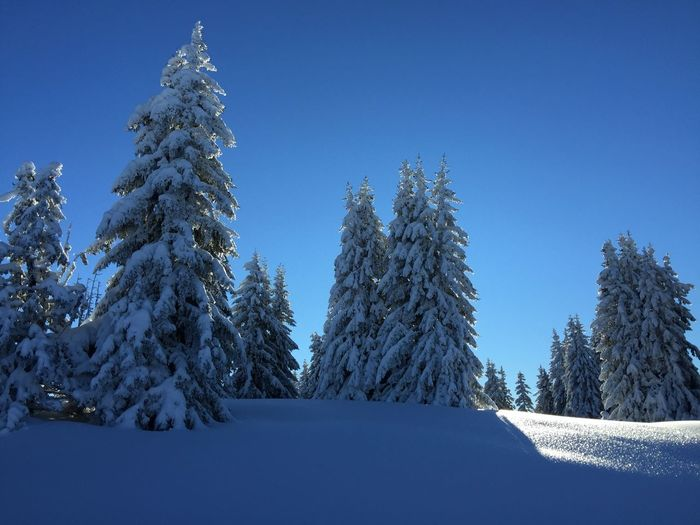 Low Angle View Of Snow Covered Pine Trees Against Clear Blue Sky