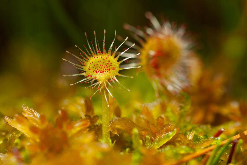 Rosika plant