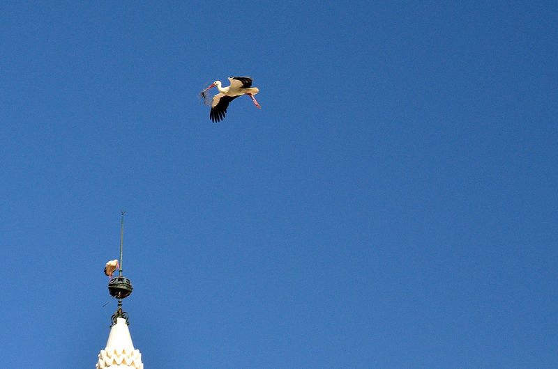 Low Angle View Of White Storks Against Clear Blue Sky