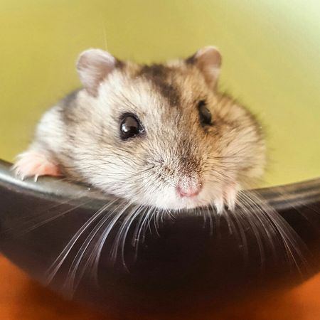 Hamster Hamster Pet Cute Cute Animals Hello World Hello EyeEm Best Shots Hey✌ Lovephotography  Life Macro_collection Macro Photooftheday Eyem Best Shots Photography Eyemphotography Close-up Smile EyeEm Nature Lover Rodent Adorable Fluffy Animals Makesmesmile Sweet