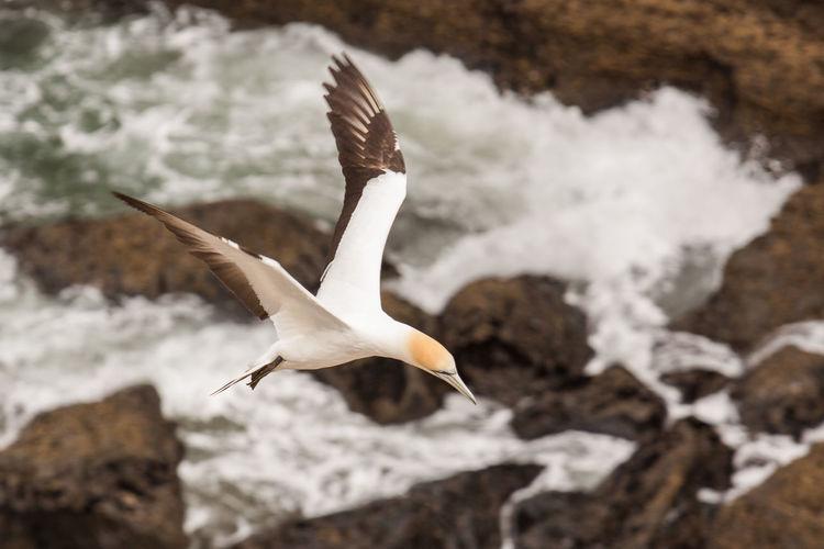 Seagull flying over white background