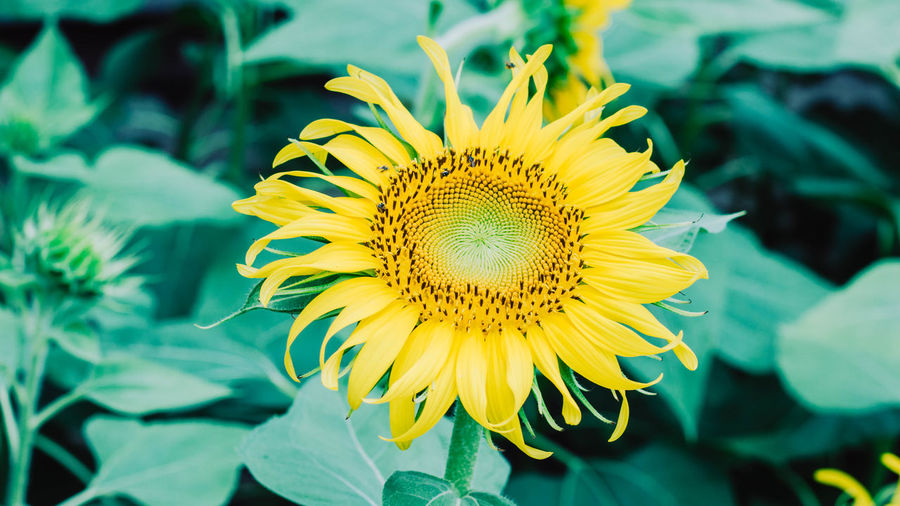 Sunflower Flower Flowering Plant Yellow Fragility Flower Head Freshness Vulnerability  Plant Petal Growth Inflorescence Beauty In Nature Close-up Pollen Sunflower Focus On Foreground Nature