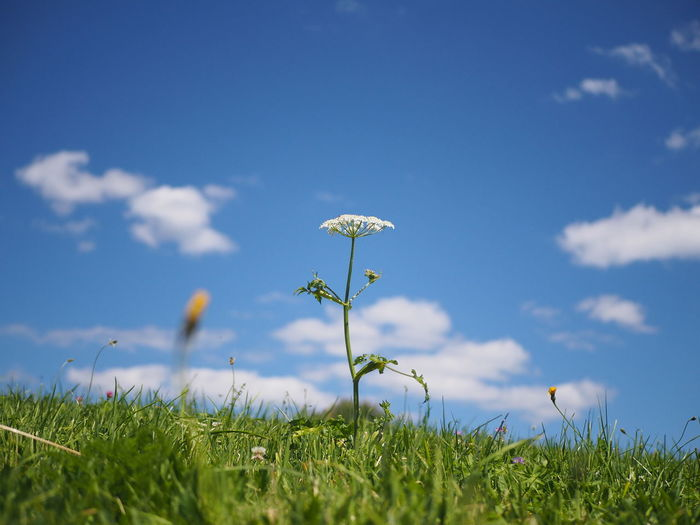 Close-up of flowering plants on field against blue sky