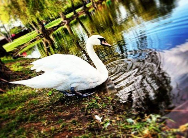 лебеди Nature Beatyfullnature красота отдых левыйберег мойворонеж Vrn Vrnlife красотавокругнас Mtv36