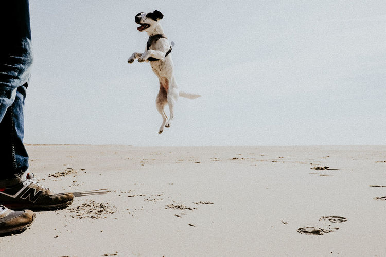 Beach Beach Day Beach Life Day Dog Domestic Animals Excitement Flying Jack Russell Jack Russell Terrier Jeans Joyful Jumping Jumping Dog Nature One Animal One Person Outdoors People Playful Sand Sky Smart Sportive Terrier