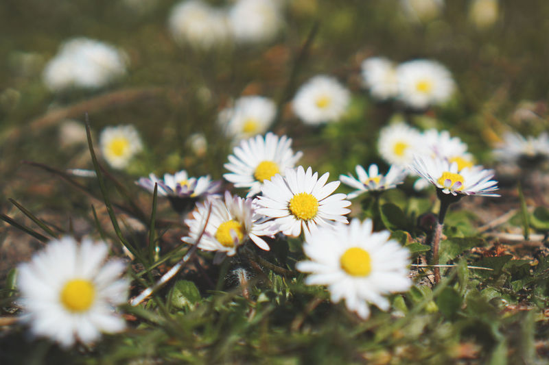 Flowering Plant Flower Freshness Plant Fragility Vulnerability  Growth Petal Beauty In Nature Selective Focus Inflorescence Flower Head White Color Daisy Field Close-up Nature Land No People Pollen Outdoors Springtime Springtime Decadence