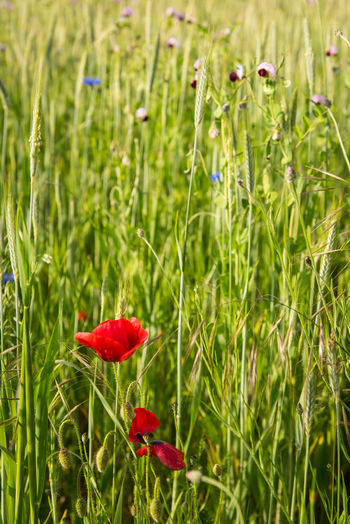 Biological Field Flower Head Flower Poppy Red Field Close-up Grass Plant Green Color Uncultivated Dandelion Flora Blossoming  Greenery Spring Vegetation Wildflower Fly Agaric Soft Toadstool Stem Clover Ear Of Wheat