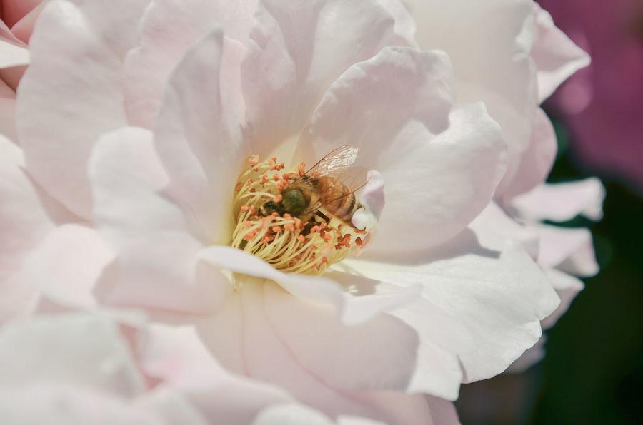 Bee Bees Bees And Flowers Botany Close-up Detail Elégance Flower Flower Head Fragility Petal Pollen Pollenation Pollença Rose Garden Roses Selective Focus Single Flower Springtime Stamen