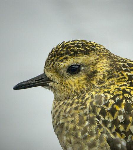 Pacific Golden Plover Hawaii Birds Of EyeEm  Bird Bird Photography EyeEm Best Shots Close-up Nature Beak Beauty In Nature