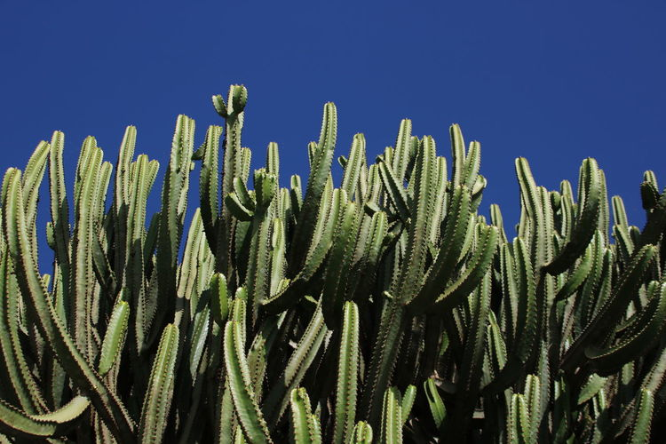 Growth Plant Sky Clear Sky Nature No People Blue Cactus Succulent Plant Day Sunlight Green Color Beauty In Nature Sharp Tranquility Spiked Low Angle View Outdoors Close-up Copy Space Spiky Lanzarote