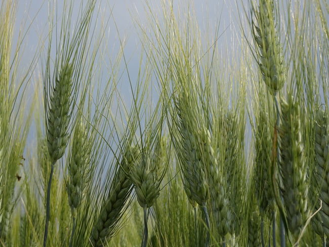 Agriculture Beauty In Nature Cereal Plant Close-up Crop  Day Ear Of Wheat Farm Field Green Color Growth Land Landscape Nature No People Outdoors Plant Rural Scene Sky Tranquility Wheat
