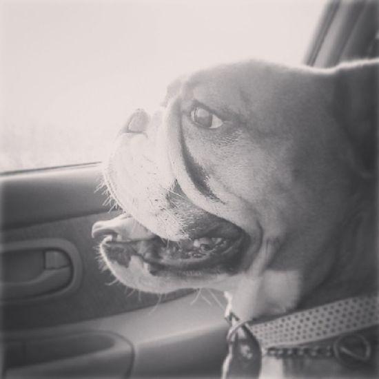 """Sup."" Ham rides shot gun, always. Oldenglishbulldog Oldschool Bulldog 3legs strong vibrant feisty freebird myfavorite ilovemyham hamhead hammy animallover puppy shehasahugehead."