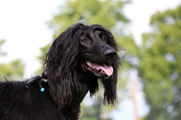 beautiful black afghan hound portrait in the garden Afghan Hound Dogs Elegant Funny HEAD Hair Afghan Animal Animal Body Part Black Color Canine Close-up Dog Domestic Garden Headshot Looking Away Mammal Mouth Open One Animal Outdoors Park Pets Portrait Sighthound