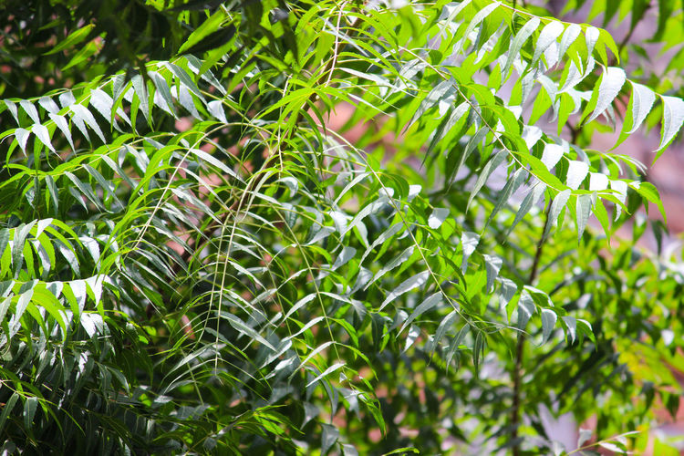 THE GREEN NEEM LEAVES Green Colour Greenery Neem Leaves. Leaf Close-up Plant Green Color Natural Pattern Needle - Plant Part Flora Vegetation Spring Lush