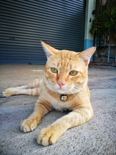 Domestic Cat Pets Feline Domestic Animals Animal Themes One Animal Mammal Portrait Looking At Camera No People Outdoors Ginger Cat Sitting Day Close-up Cat
