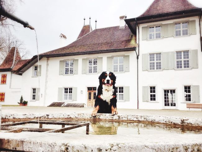 Wanderlust Mydog Bernese Mountain Dog I Love My Dog Bernersennen Church Dog Travel Solothurn