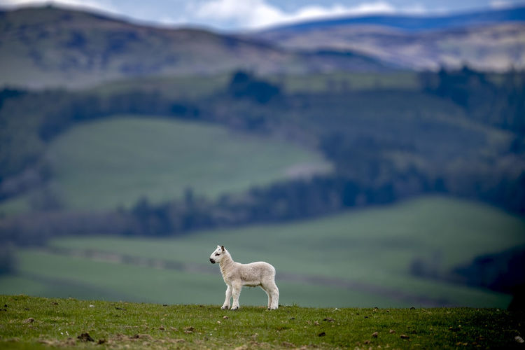A young spring lamb stands solitary in a field in the scottish borders