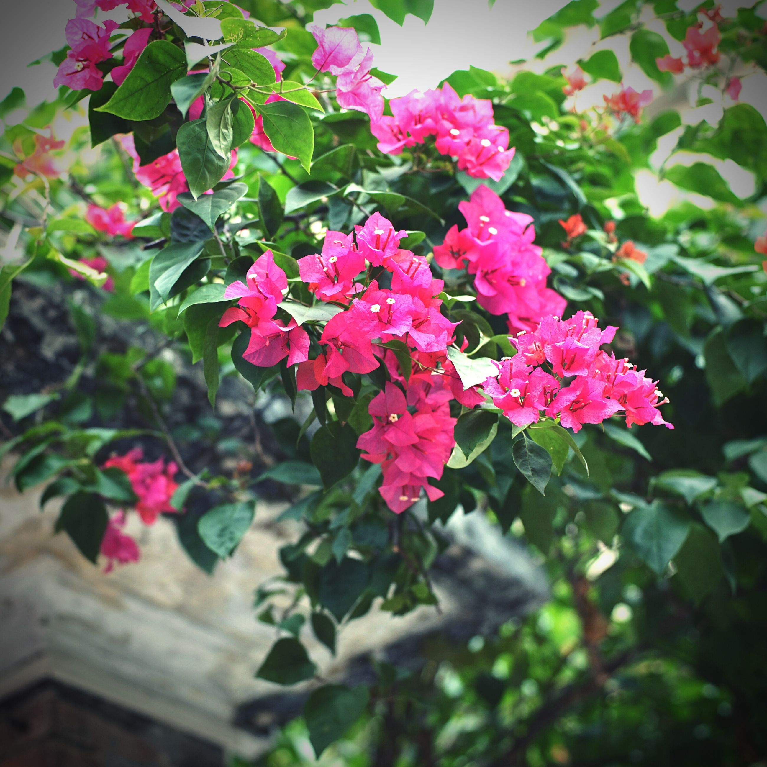 growth, flower, nature, pink color, plant, fragility, beauty in nature, green color, outdoors, freshness, no people, day, leaf, close-up, rhododendron, flower head