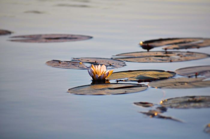 Beauty In Nature Calm Calm Water Day Delta Flower Flowers Lake Lilly Pad Meditation Nature No People Okavango Delta Outdoors Pink Pink Water Lily Reflection Relaxation Water Water Flowers Water Lily Water Plants