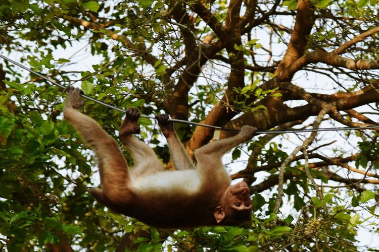 Taking Photos Eyeem Photography EyeEm EyeEm Gallery Hanging Out Hanging Crawling Fast Bonnet Monkey Monkey Business Monkey Upside Down Upsidedown Having Fun! Tree Animal Grasping Animal Photography Animals Animals🐾 Animal_collection Animals Around