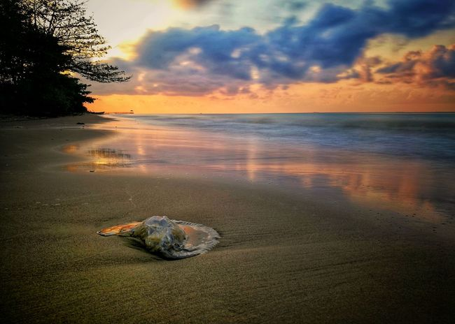 stranded jelly fish Sunrise Landscape_photography Nature Sea World Landscape Animal Wildlife Nature Photography Morning Morning Sky Sunset #sun #clouds #skylovers #sky #nature #beautifulinnature #naturalbeauty #photography #landscape WeLoveBalikpapan Wonderful Indonesia Balikpapan City Animal And Sea Animals In The Wild Sunrise_sunsets_aroundworld Sunrise_Collection Sunset Swimming Seascape Wave Jellyfish Ocean Horizon Over Water Seaweed Bay Of Water