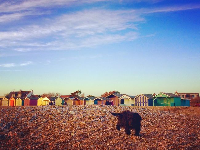 Cockapoopuppy Beachhuts Cockapoo Puppy Domestic Animals Pet Animal Themes Dogonthebeach Dog Black Dog Multicolour Colourful Built Structure Sky No People Nature Outdoors Day EyeEmNewHere