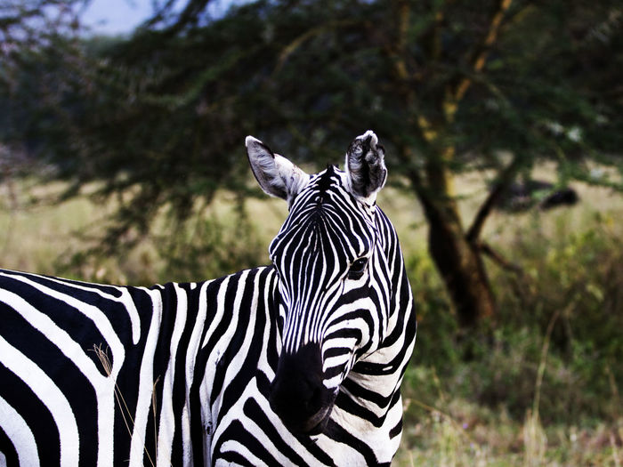 Zebra Animal Markings Animal Themes Animal Wildlife Animals In The Wild Close-up Day Focus On Foreground Mammal Nature No People One Animal Outdoors Safari Animals Standing Striped Tree Zebra