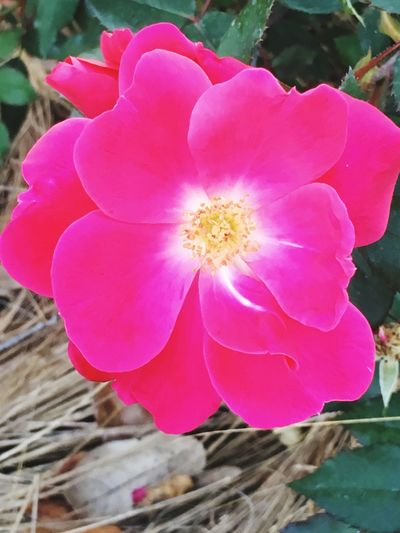 Wild Flower Wild Rose Pink Flower San Antonio Texas Texas Wildflower Pretty Pretty Flower Pasture Rose Prairie Rose Dog Rose Rosa Eglantine Sweetbriar Scotch Briar Closeup Close Up