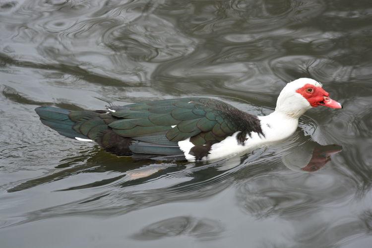 Animal Themes Animal Wildlife Animals In The Wild Bird EyeEm Nature Lover Lake Nikon Nikon D5200 One Animal Ugly Duckling Water