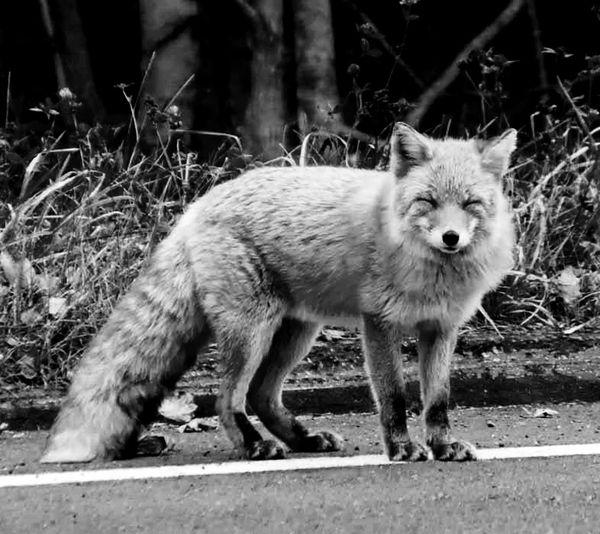 北狐 Japan Hokkaido North Fox Shiretoko Nature