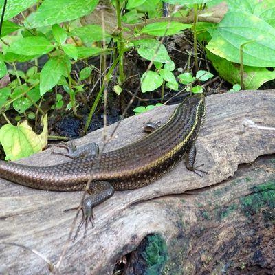 SKINK - a relative of snake. Dang,August_2017. Malephotographerofthemonth Animal Wildlife Wildlovers Indiatravelgram Sonyphotography Yourshot_india Indiaclick Indiandiaries The Week On EyeEm EyeEmNewHere