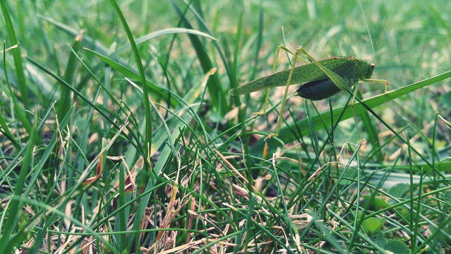 Nature Photography Nature Insects  Bugs Bug Green Tettigonia Veridissima Sauterelle Sauterelles Vert