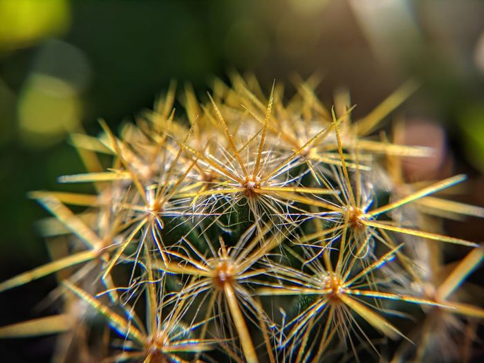 Close-up of dandelion on cactus