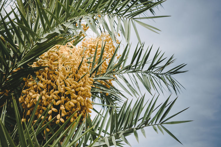 Beauty In Nature Date Palm Tree Day Growth Low Angle View Nature No People Outdoors Palm Tree Tree Unripe Fruit Yellow Color Tropical Climate
