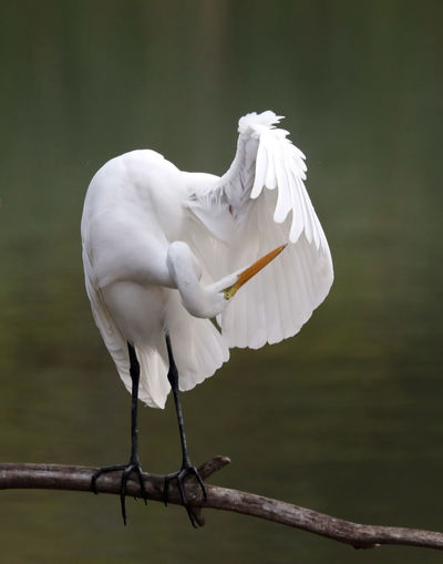 Great Egret Perching On Dried Plant Stem Over Lake