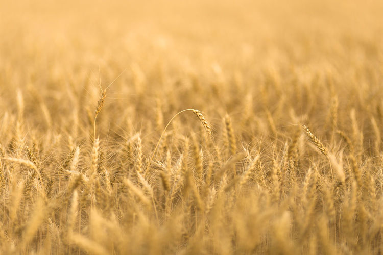 Agriculture Backgrounds Barley Beauty In Nature Cereal Plant Crop  Farm Field Gold Colored Growth Land Landscape Nature No People Outdoors Plant Prairie Rural Scene Wheat